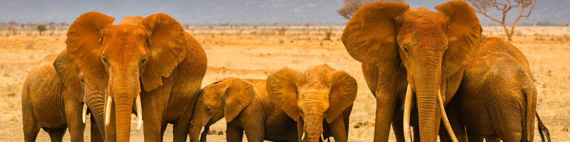 The Mighty Elephants Of The Tsavo