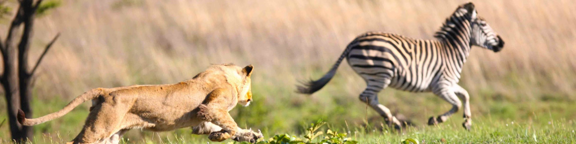 Lion Chasing Zebra At The Maasai Mara